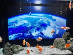 金魚 宇宙2